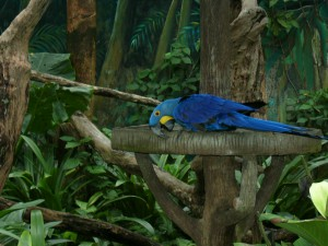 Гиацинтовый ара, живет в зоопарке Сингапура