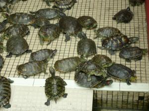 Красноухие черепахи, живут в зоопарке Сингапура