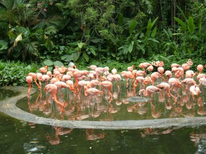Розовый фламинго, зоопарк Сингапура