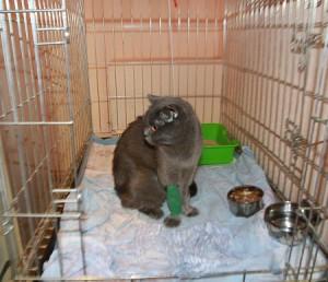 Шотландская кошка Джерри перед стерилизацией