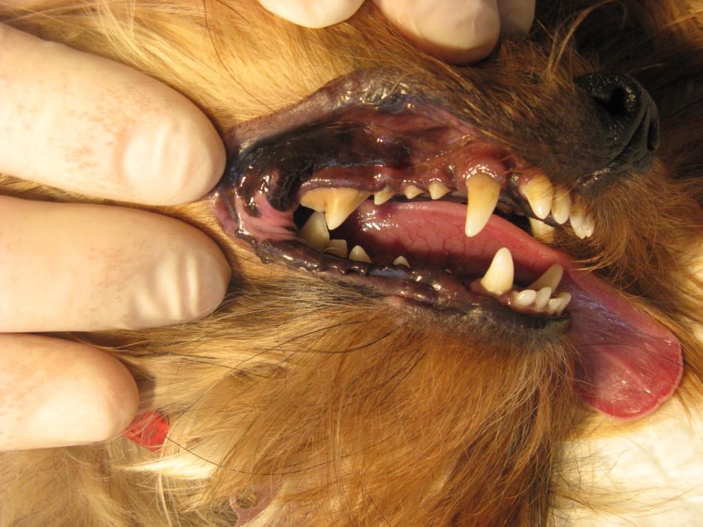 Зубной камень у йоркширского терьера Дуси