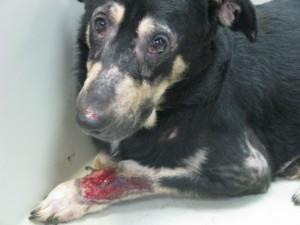 """Акродерматит - дерматит """"разлизанной конечности"""". Собака испытывала сильный зуд, вызванный блохами (блошиный дерматит). В результате она разлизала кожу вплоть до мышц на всех четырех конечностях."""