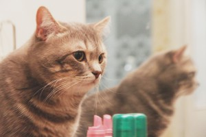 Шотландский кот Брэд Питт